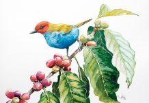 Tangara Gyrola Las aves adornan el paisaje cafetero