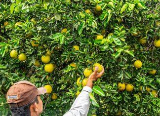 El Suroeste antioqueño es tierra de naranjas dulces y refrescantes