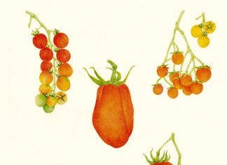 Variedades de tomates Rojos: Originarios de Suramérica, a la hora de comprar hay que escogerlos maduros, de piel lisa y sin manchas.