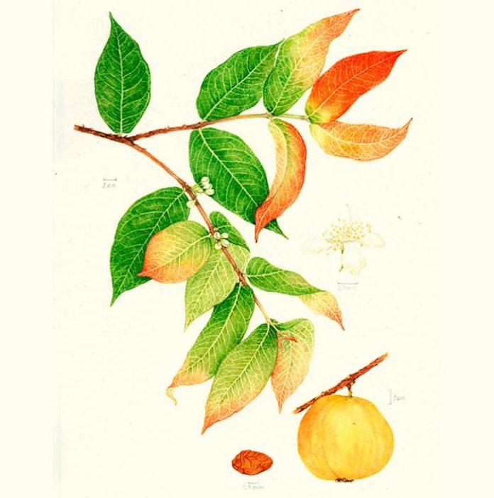 Arazá la llamada guayaba amazónica - Serie de frutos amazónicos