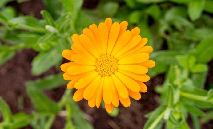 Especies de flores comestibles