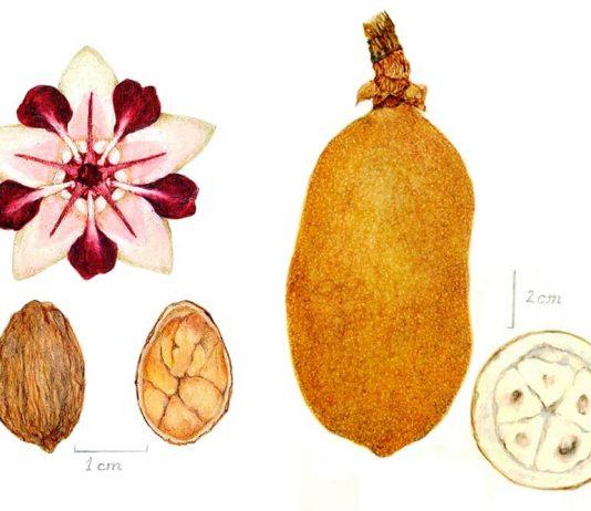 Copoazú o cacao blanco