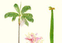 El açai es el fruto de una palmera llamada açaizeiros (Euterpe Oleracea)