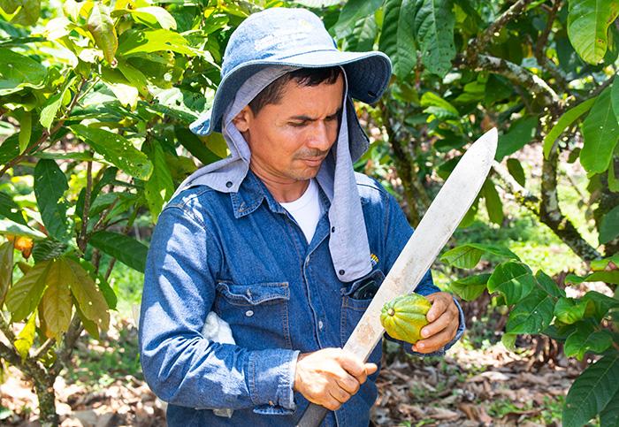 Uno de los procesos más importantes es abrir el cacao para sacar los granos.