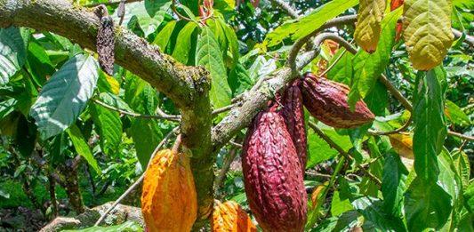 Colombia produce cacao fino