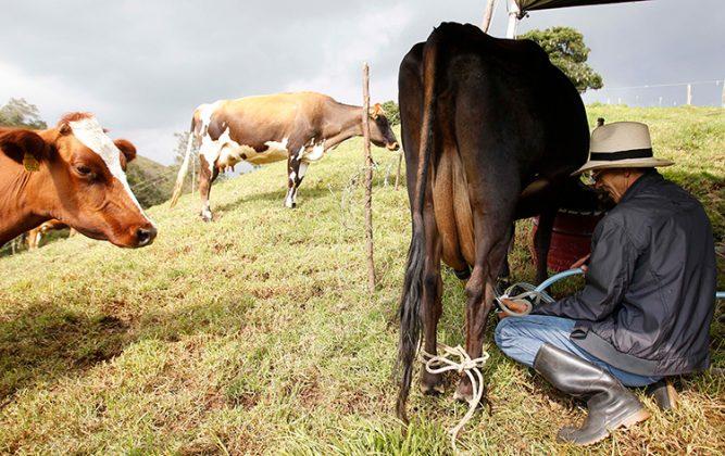 San Pedro de los Milagros es el municipio que más produce leche por metro cuadrado en Colombia.
