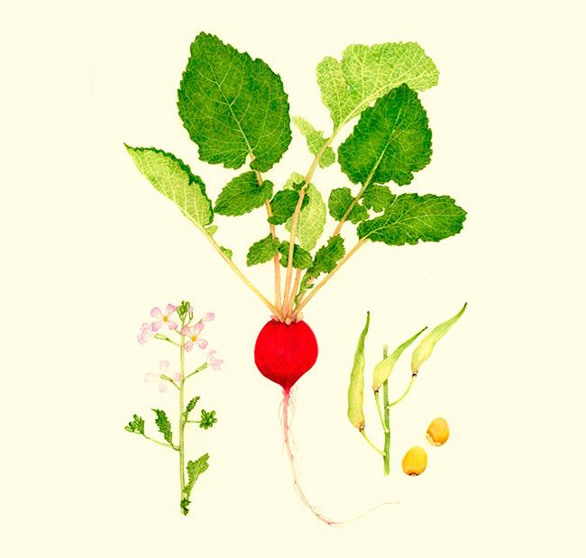 El rábano es picante, aporta frescura y crocancia. Este vegetal viene de Asia, aunque se sabe que era muy popular en las cocina del antiguo Egipto.