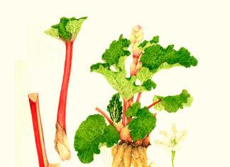 El ruibarbo es una hortaliza oriunda de Siberia
