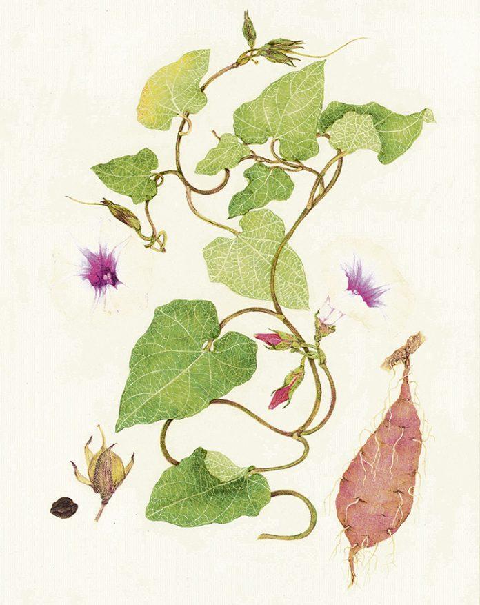 El tubérculo Batata también se le conoce como boniato o camote
