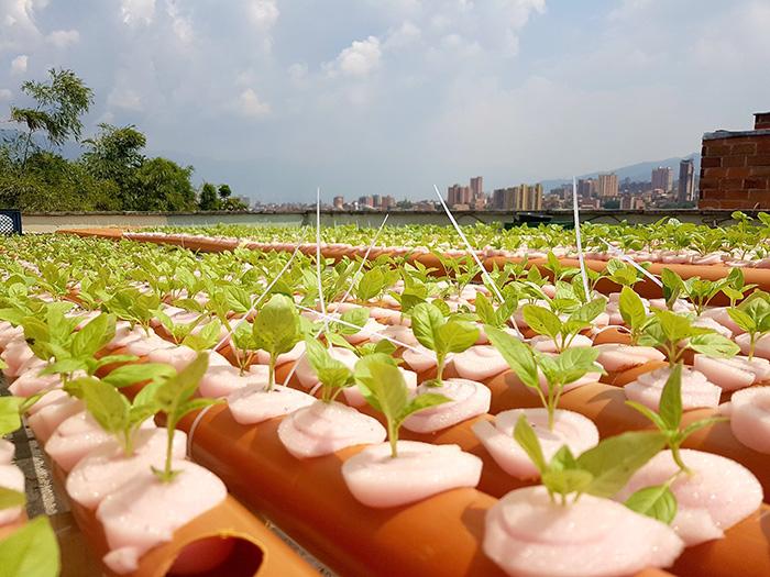 Cultivos hidropónicos en Terrazas verdes de Medellín